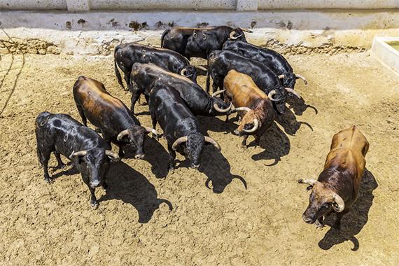 Aquí el sorteo de los ocho toros de José Vázquez para la tercera de la feria de Cuenca