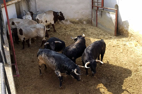 Aquí el sorteo de los toros de Cebada Gago para la primera corrida de la Feria de Cuenca