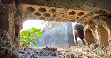 Los toros de El Torero, ya en los corrales de Plasencia