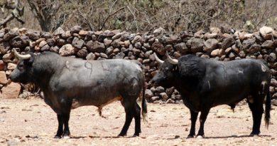 Conozca los toros de Xajay que serán lidiados en Huamantla