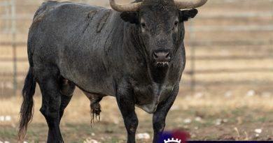 Conozca los toros de Victorino Martín a lidiarse este domingo en Burgos (Con fotos)