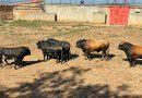 Este es el orden de lidia de los toros de El Capea y de Garcigrande para la última en Salamanca
